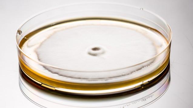 Trichophyton mentagrophytes in einer Petrischale. (Foto: Alessandro Grandini / stock.adobe.com)