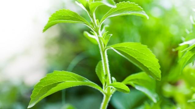 Stevia rebaudiana ist in Südamerika beheimatet. Die Süßkraft der Blätter ist ungefähr 30- bis 45-mal stärker als Zucker. (Foto: Denise Torres/stock.adobe.com)
