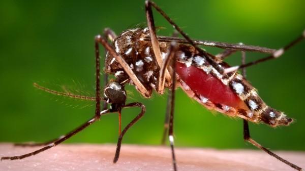 Dengue- und Zikavirus: Infektionen nehmen zu