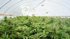 Malta möchte beim Cannabisanbau mitmischen. (Foto:CascadeCreatives/ stock.adobe.com)