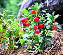 D4009_Cranberry.jpg