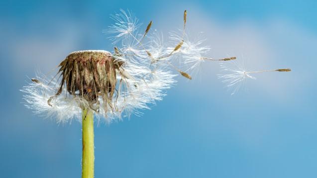 Fliegen Pollen, könnte die Körperabwehr nur abgeschwächt auf Viren reagieren und so SARS-CoV-2-Infektionen begünstigen. (Foto:Jürgen Kottmann / stocj.adobe.com)
