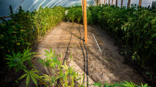 BfArM startet neue Ausschreibung für Cannabisanbau