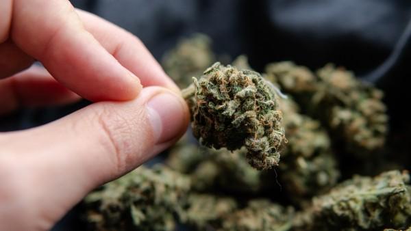 Rückruf: Cannabisblüten organisch verunreinigt