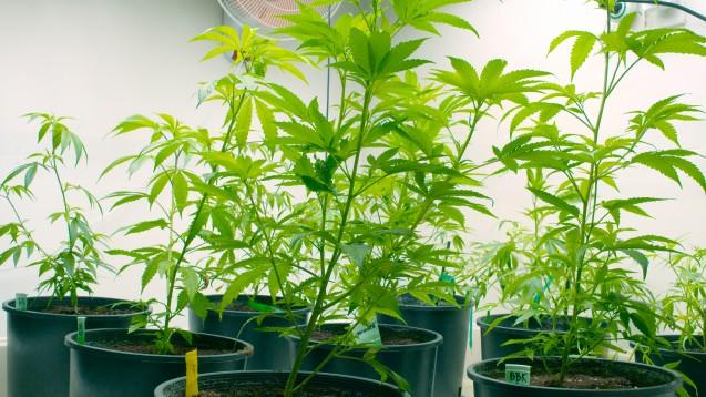 Bionorica würde grundsätzlich gerne Cannabis in Deutschland anbauen, aber nur, um die Blüten dann weiter zu verarbeiten. (Foto:Jdubsvideo / Fotolia)
