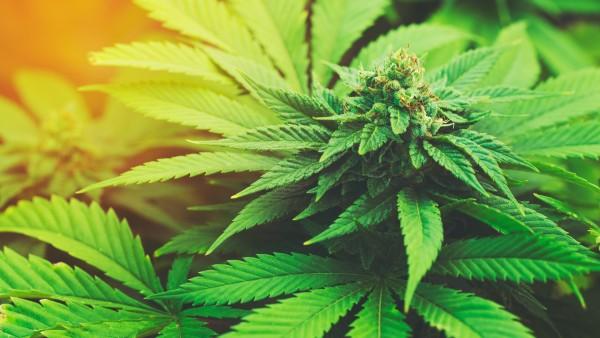130 Patienten beantragen Cannabis-Eigenanbau