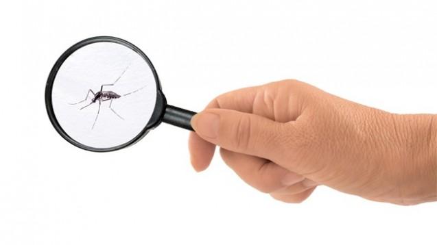 Tigermücken können das Chikungunya-Virus übertragen. (Bild: Mushy/Fotolia)