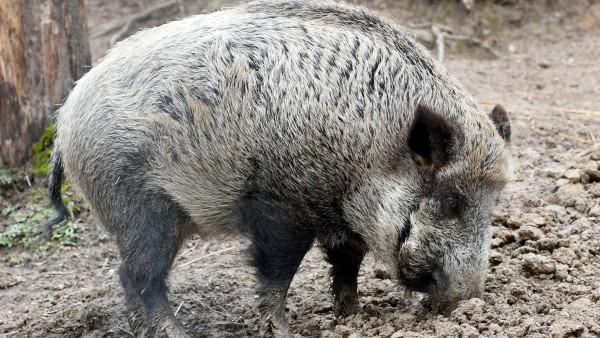 Afrikanische Schweinepest in Deutschland kaum zu verhindern