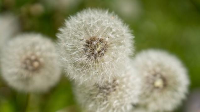 Corticoid-Nasensprays sind die erste Wahl bei Heuschnupfen. Beclometason, Fluticason und Mometason sind rezeptfrei in Apotheken erhältlich. (Foto:imago images / Michael Kristen)