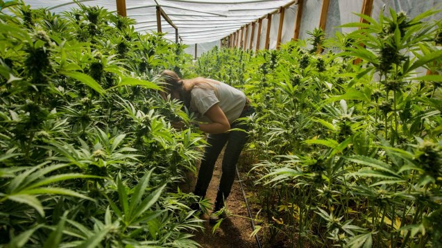 Nach Einschätzung des BMG sollte es im kommenden Jahr mit dem deutschen Cannabis-Anbau klappen. Die Linke ist skeptisch und sieht große Versorgungslücken.(Foto: Imago)