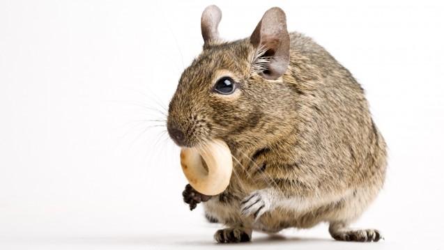 Wer viel isst, wird meist dick. Doch wie das ganz genau funktioniert? Mit Maus-Experimenten kommt die Wissenschaft der Antwort nun näher. (Foto: Oleg Kozlov)