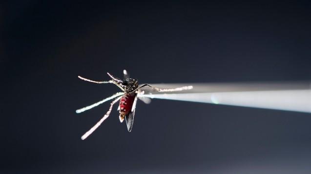 DieAedes-Mücken übertragen unter anderem den Zika-Virus. (Foto: dpa)