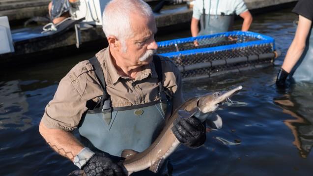 Ein Fischtierarzt untersucht einen Stör auf einer Kaviarfarm. (Symbolbild) (Foto: auremar / stock.adobe.com)