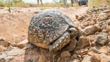 Die Kapsel kann sich selbst ausrichten. Die Wissenschaftler haben sich das von der Leopardenschildkröte abgeschaut. (Foto:                                                                                                                     Sibylle                                                                           / stock.adobe.com)