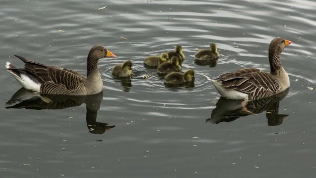 Enten und andere Wasservögel übertragen Zerkarien. (Foto:Liliane / Fotolia)
