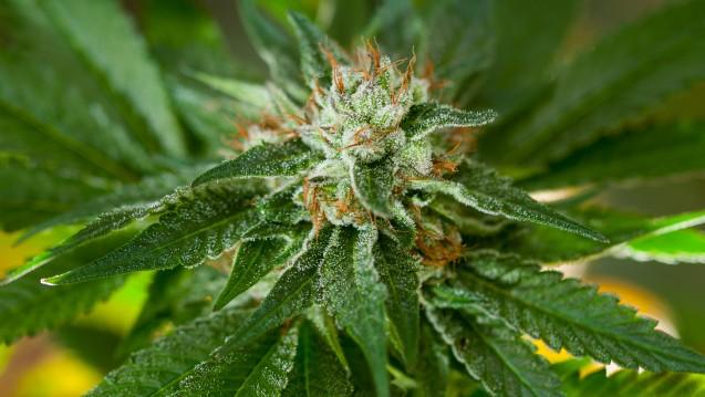 Deutschland muss medizinisches Cannabis derzeit importieren. Aus Uruguay will der CDU-Abgordnete Erwin Rüddel aber keines. (Foto: Patrick / stock.adobe.com)