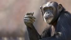 Ein Gehirn das täuscht und Täuschung erkennt gilt als Meilenstein der Primatenevolution. (Foto: Patrick Rolands / Fotolia)