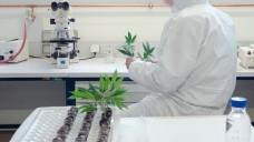 Ein Mitarbeiter der Österreichischen Agentur für Gesundheit und Ernährungssicherheit GmbH (AGES) in Wien arbeitet im Labor mit Cannabis-Setzlingen. (Foto:AGES / dpa)