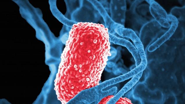 Klebsiella pneumoniae: Erreger von Sepsis und Pneumonien, insbesondere bei Carbapenemresistenz fehlen häufig Antibiotika. (Foto: dpa)
