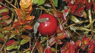 Cranberry-Früchte gegen Blasenentzündung
