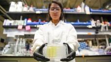 Die Testplatte mit synthetischen Urinproben: Die Lösung wird gelb, wenn antibiotikaresistente Bakterien vorliegen. (Foto: Stephen McNally photo / UC Berkley)