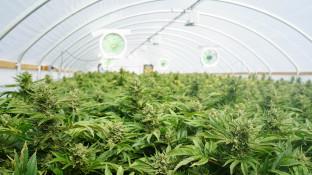 Cannabisanbau soll in Malta für Aufschwung sorgen