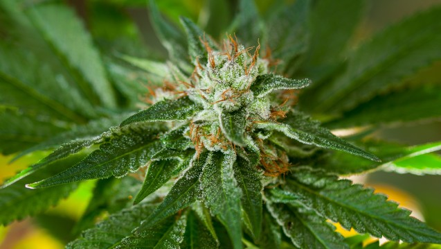 Tetrahydrocannabinol undCannabidiol werden aus weiblichen Hanfblüten gewonnen. Mittlerweile ist das Potenzial der Wirkstoffe für verschiedene Erkrankungen erkannt. (Foto: Patrick / Fotolia)
