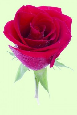 D5108_rose_Hintergr.tif