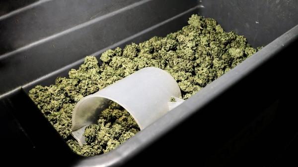 Cannabiskonferenz: Zarte Blüte Lieferfähigkeit