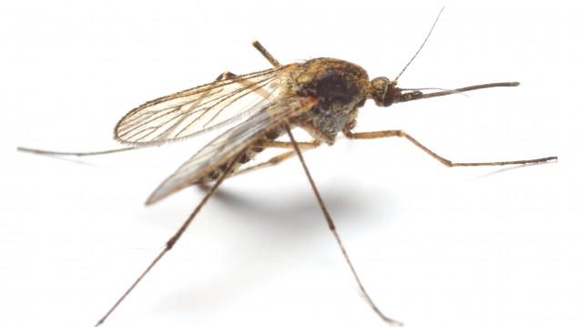 DieAnopheles-Mücke überträgt die gefährlichste Form der Malaria, die M. tropica. (Foto:Kletr / Fotolia)