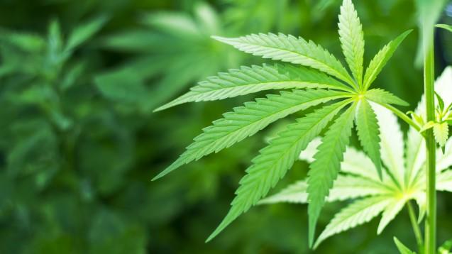 Cannabis-Abgabe legal: Ein Strafrechtsprofessor plädiert vorerst für regionale Modellprojekte. (Foto: sarra22/Fotolia)