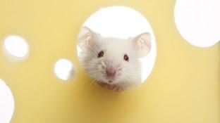 Keine weiße Maus in der Apotheke
