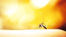 Malaria-Parasiten werden durch den Stich der weiblichen Anophelesmücke übertragen. Der Parasit Plasmodium falciparum ist für einen großen Teil der Malaria-Erkrankungen weltweit und nahezu alle Todesfälle verantwortlich. (Foto: auimeesri / Fotolia)
