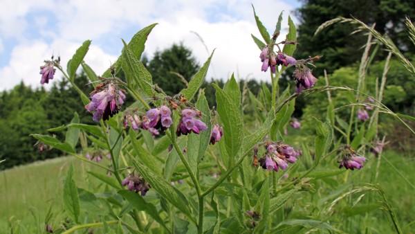 BfArM will Schutz vor Pyrrolizidinalkaloid verbessern