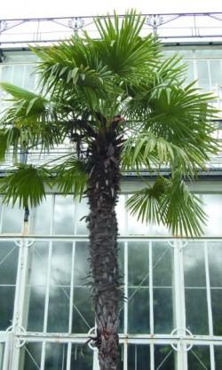 D4111_feu_trachycarpus.jpg
