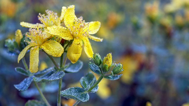 Zu den maßgeblichen Inhaltstoffen des Johanniskrauts zählen Hypericin und Hyperforin, die wohl für die antidepressive Wirkung verantwortlich sind. (Foto:Ingo Bartussek / stock.adobe.com)
