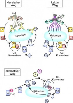 D11_ImmunologieAbb. 1a.tif
