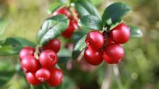 Cranberries - als Medizinprodukt gegen Blasenentzündungen haben ihre Extrakte in Europa ausgedient. (Foto: larineb / stock.adobe.com)
