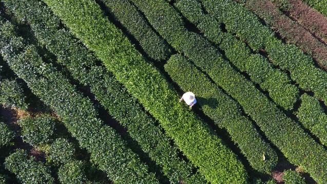 Wenn in China der Tee geerntet wird, treten die meisten SFTS-Fälle auf. (Foto:picture alliance / Photoshot)