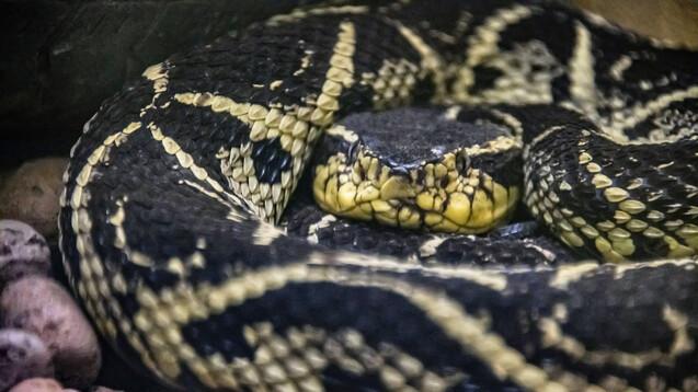 Wie viel SARS-CoV-2 hemmendes Potenzial steckt im Gift der in Brasilien vorkommenden Jararacussu-Schlange? (s / Foto:Leonardo / AdobeStock)