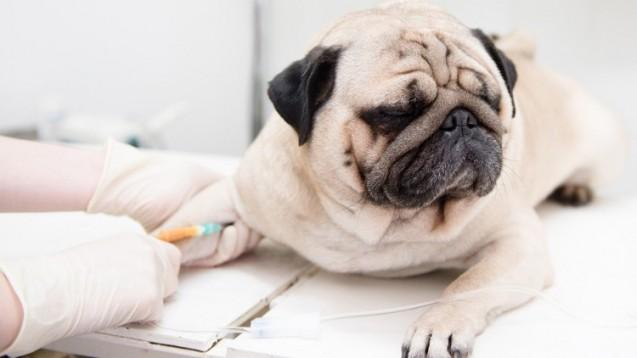 Boehringer will zum zweitgrößten Anbieter von Tier-Arzneimitteln aufsteigen. (Foto: Ermolaev Alexandr/Fotolia)