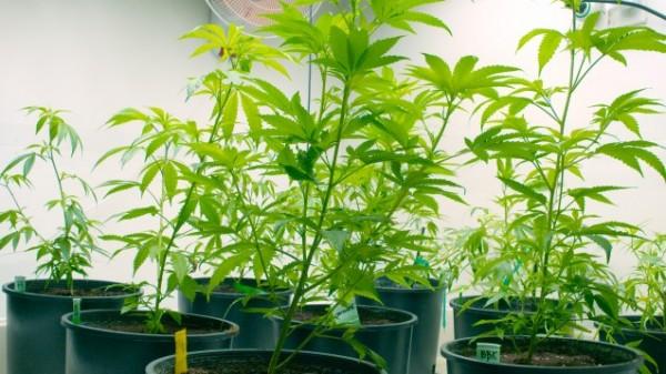 Bionorica baut kein Cannabis für das BfArM an