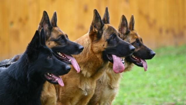 Schäferhunde haben eine geradezu spektakulär feine Nase (Foto: PaulShlykov/Fotolia.com).