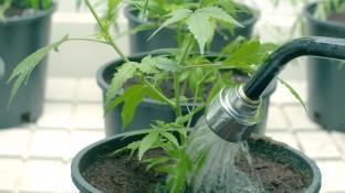 Cannabis-Eigenanbau schon im September?