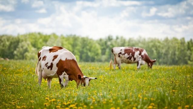 Rinder, Schafe und Ziegen, aber auch Heim- und Wildtiere sind Wirtstiere von Coxiella burnetii, dem Erreger des Q-Fiebers. Menschen infizieren sich hauptsächlich durch Inhalation von kontaminiertem Staub oder durch direkten Kontakt zu infizierten Tieren.(vsarts / Fotolia.com)