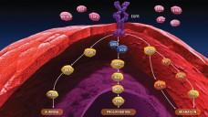 CHMP: Neun mal gab es ein positives Votum der EMA, so auch für den Antikörper Necitumumab zur Behandlung des metastasierten Plattenepithelkarzinoms der Lunge. (Foto: Lilly oncology)