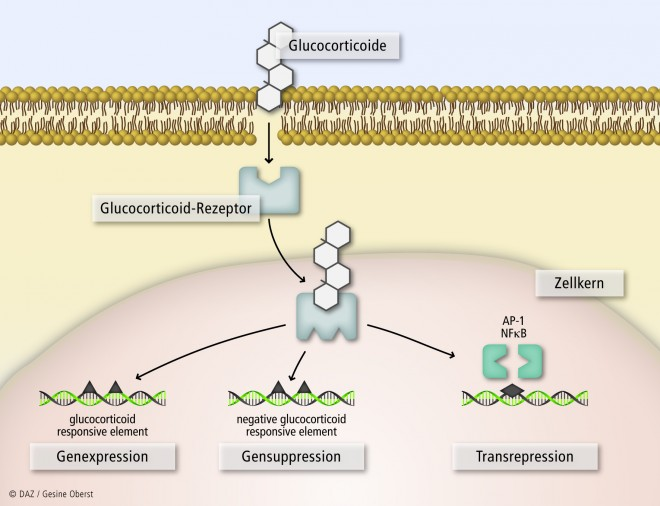glucocorticoid and mineralocorticoid effects of steroids