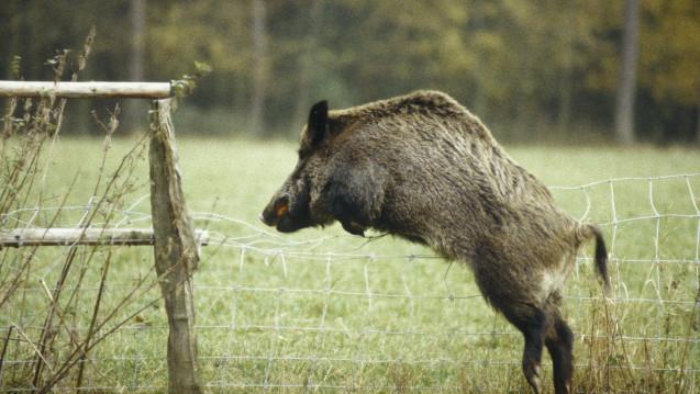 Afrikanische Schweinepest Danemark Will Schweine Zaun Zu