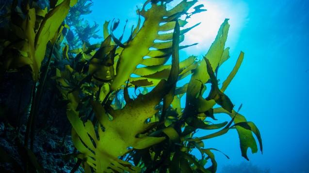 Alginate werden aus Algen hergestellt. ( r / Foto: divedog/ stockadobe.com)