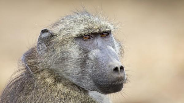 Schweineherz schlägt gut zweieinhalb Jahre in Affenkörper